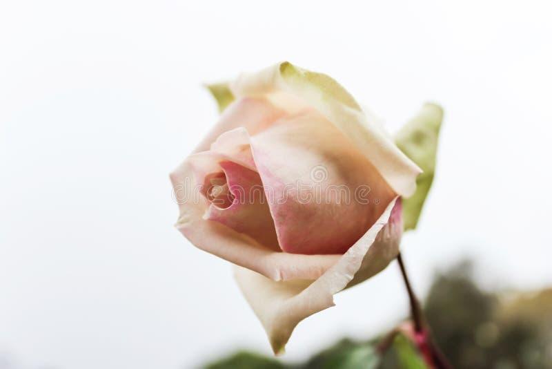 A única rosa do rosa em um fundo branco em um jardim botânico e em um ele é um destino popular Tailândia do norte do turista foto de stock royalty free