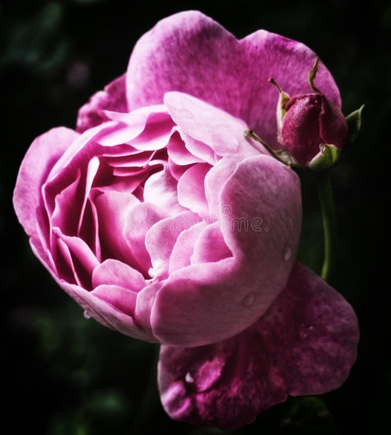 Única rosa do rosa após a chuva imagens de stock royalty free