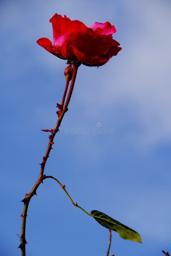 Única rosa do vermelho contra um céu azul imagens de stock royalty free