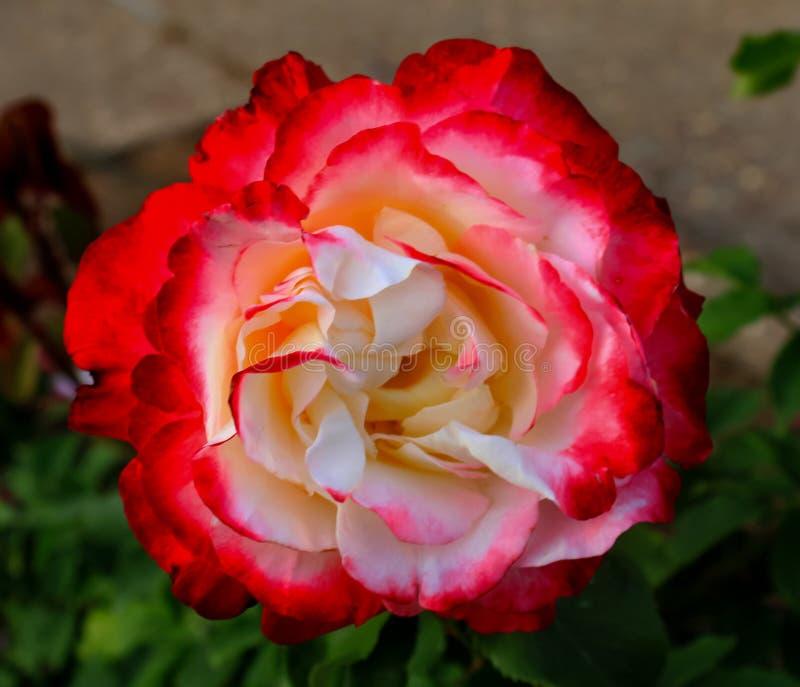 Única rosa do vermelho no arbusto fotos de stock royalty free