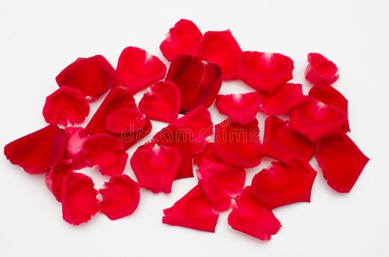 Única rosa do vermelho no fundo branco fotografia de stock