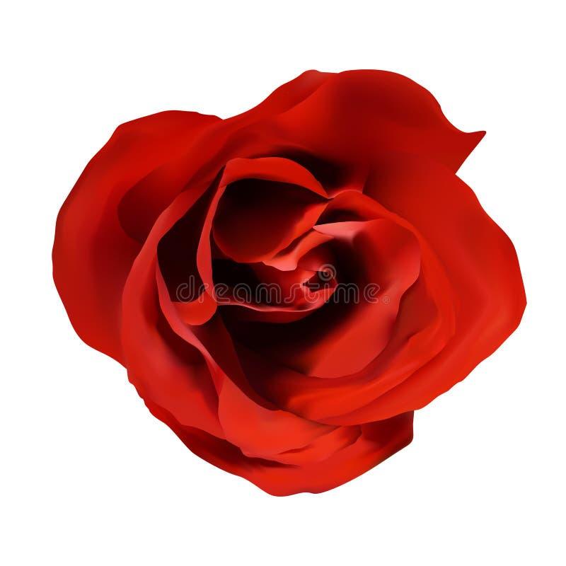 Única rosa isolada do vermelho no fundo branco, flor realística ilustração stock