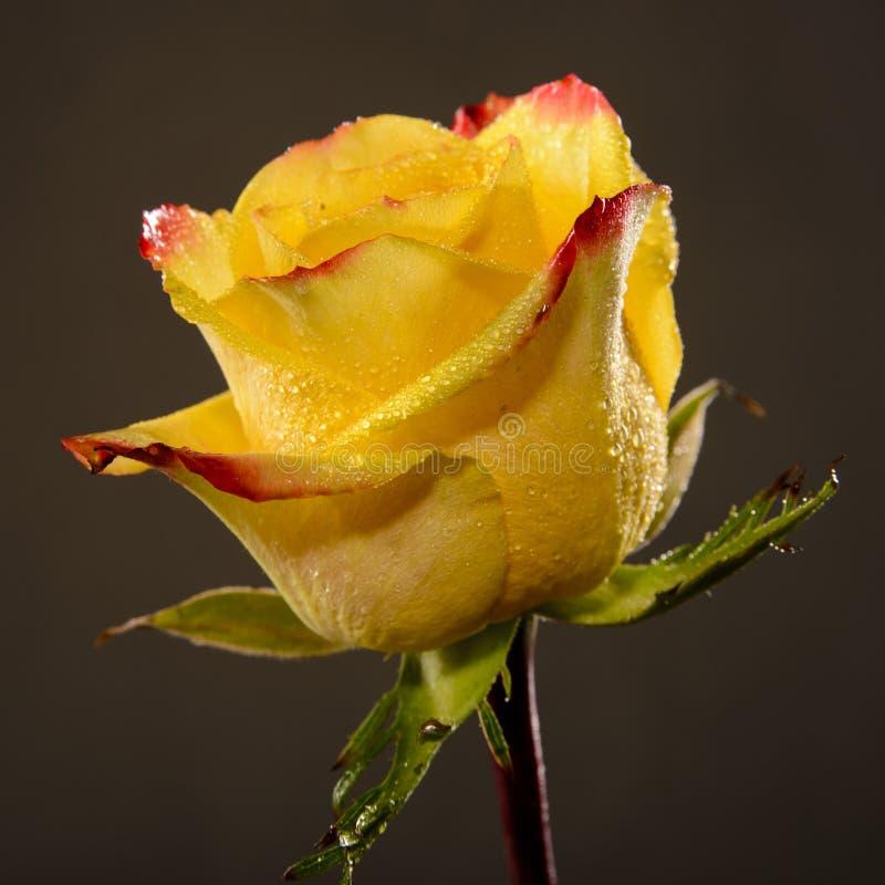 A única rosa molhada brilhante do amarelo com bordas vermelhas das pétalas e as folhas verdes fecham-se acima, muitas gotas de ág fotografia de stock royalty free