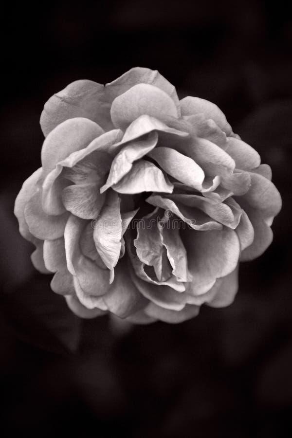 Única Rosa preto e branco: Beleza da natureza fotos de stock