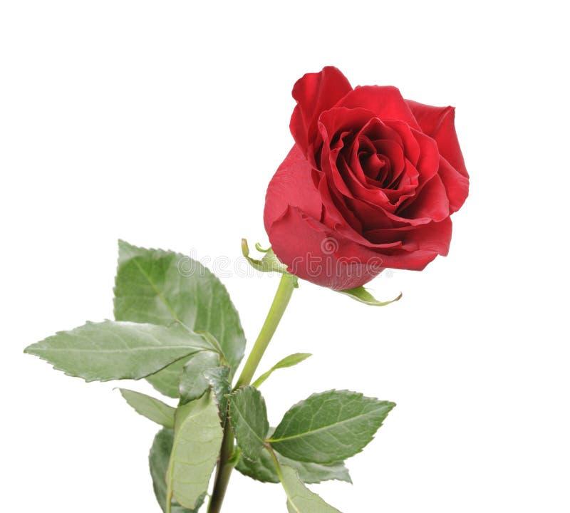 Única Rosa vermelha isolada no fundo branco imagem de stock