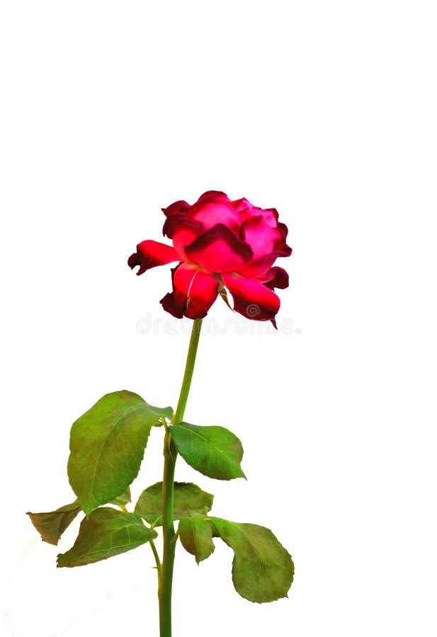 Única Rosa vermelha magenta, isolada fotos de stock