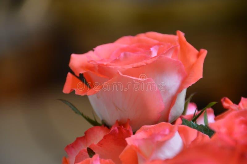 Única Rose Closeup imagens de stock