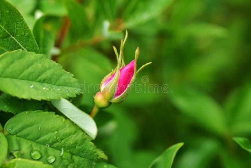 Única Rose Flower Bud selvagem cor-de-rosa fotografia de stock