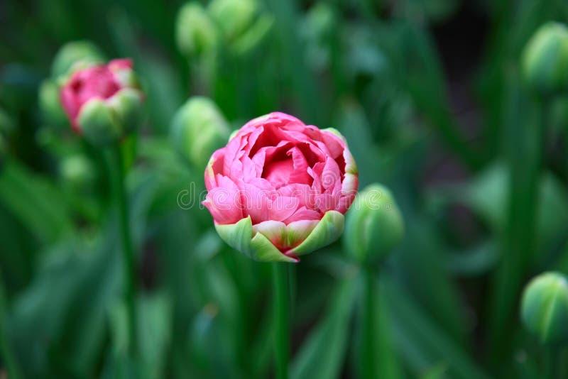 Única tulipa cor-de-rosa em um canteiro de flores verde imagem de stock royalty free