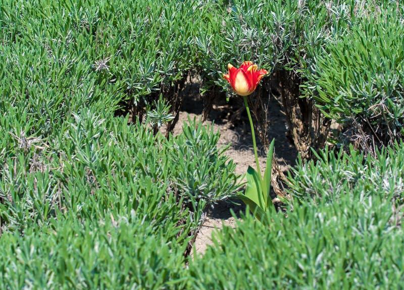 Única tulipa vermelha e amarela no prado verde foto de stock royalty free