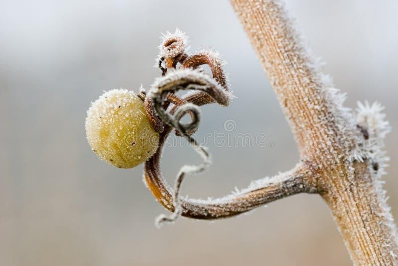 Única uva com cristais de gelo imagens de stock