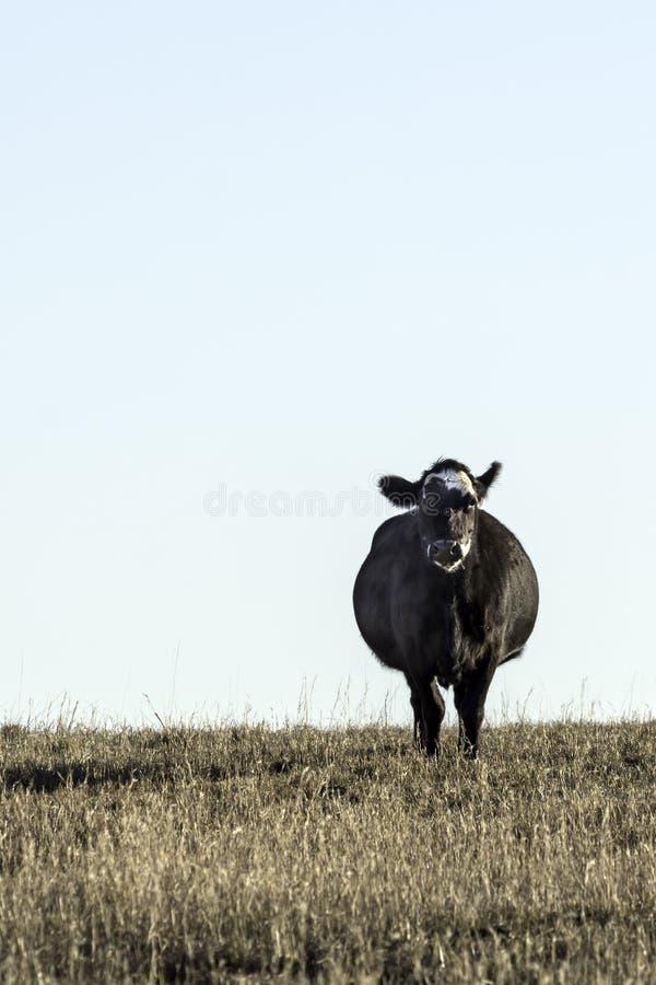 Única vaca preta de Angus que olha para a frente em um campo - vertical fotos de stock royalty free