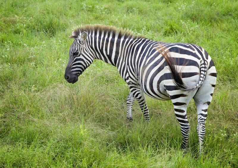 Única zebra imagem de stock royalty free