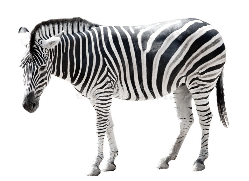 Única zebra do burchell isolada no branco foto de stock