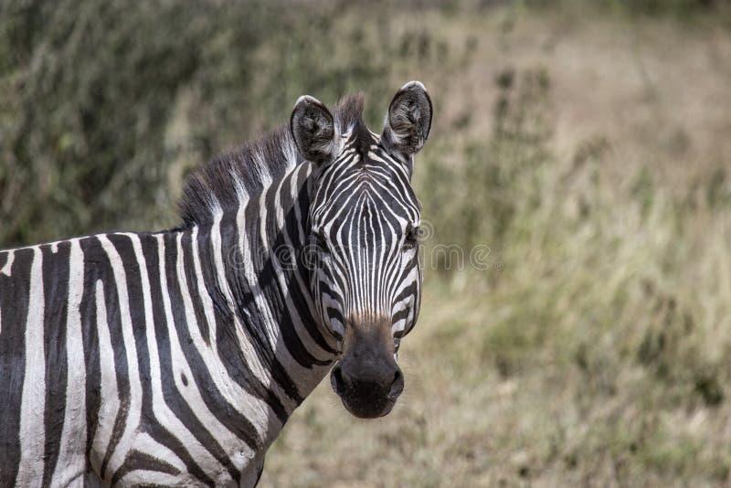 Única zebra que anda no quadro fotografia de stock royalty free