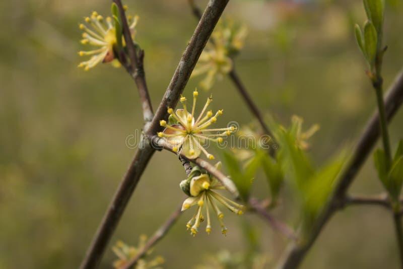 Únicas flores de florescência de florescência do corniso amarelo fotos de stock royalty free