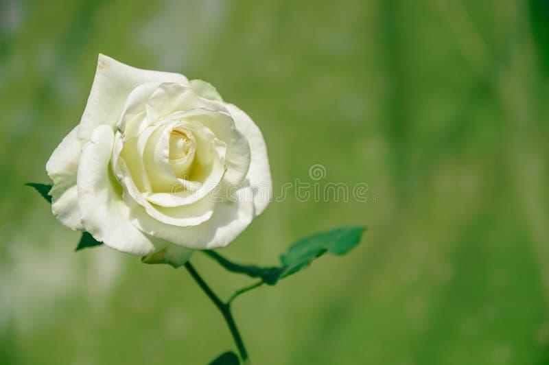 Únicas rosas brancas bonitas do close-up foto de stock