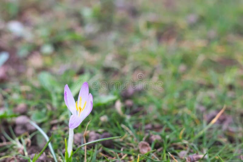 Único açafrão violeta imagem de stock royalty free