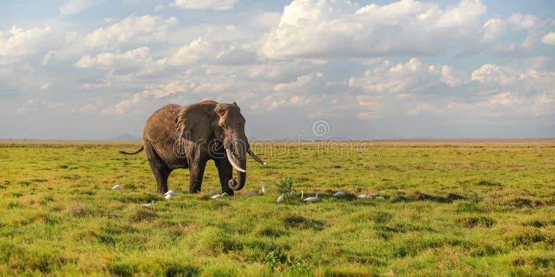 Único africana africano do Loxodonta do elefante do arbusto que anda no savana, pássaros brancos da garça-real em seus pés foto de stock