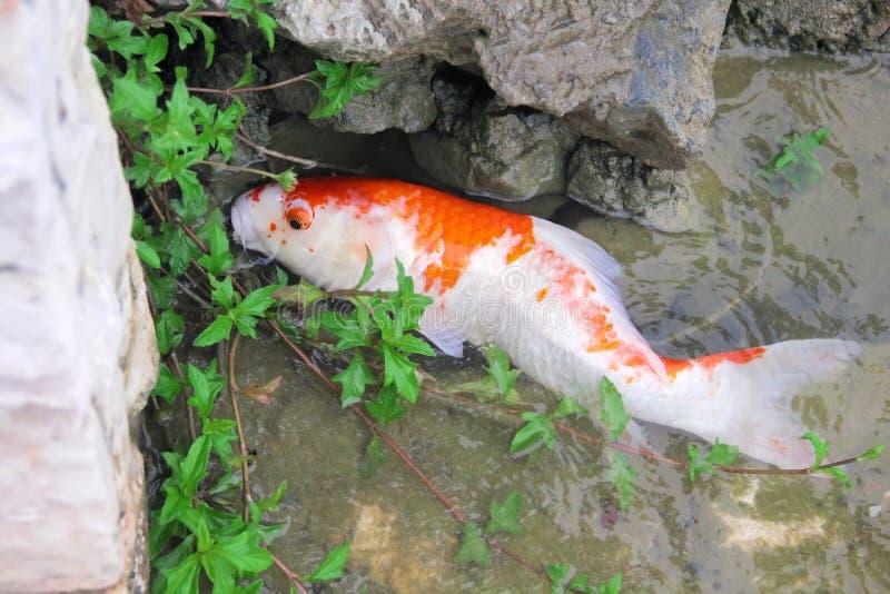 Único branco com as carpas extravagantes da cor alaranjada ou os peixes coloridos do koi que comem algas perto da rocha na lagoa  imagem de stock royalty free