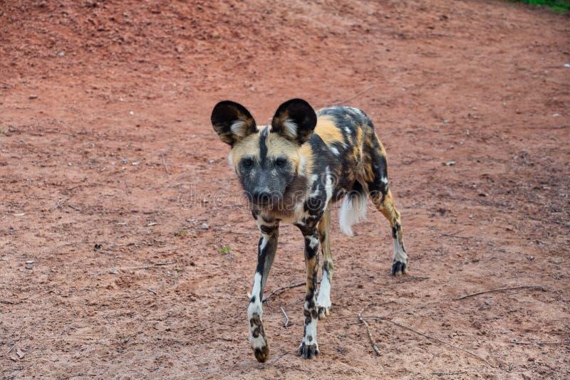 Único cão pintado africano foto de stock