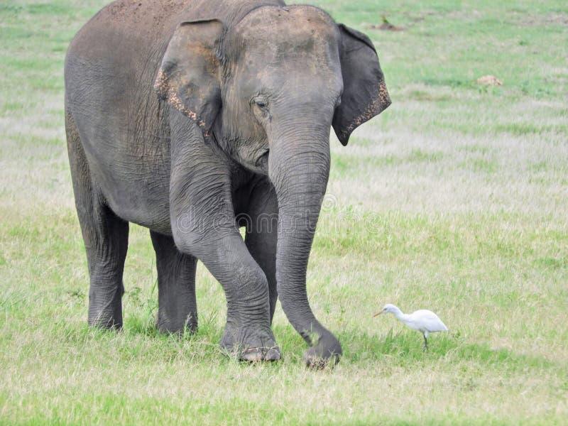 Único elefante selvagem em Sri Lanka imagem de stock
