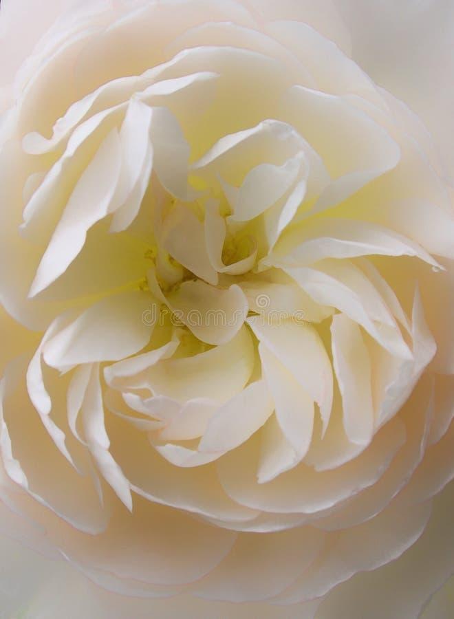 Único empalideça - a rosa do amarelo imagens de stock