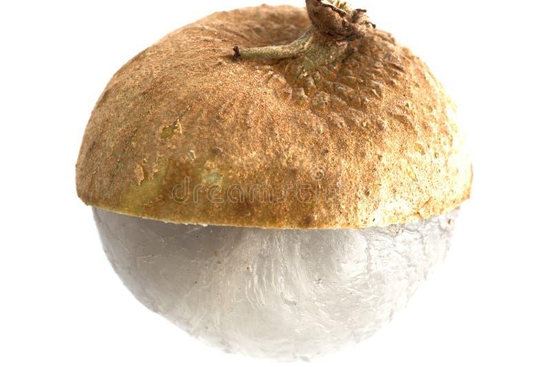 Único fruto do Longan do Dimocarpus da parte com a meia casca do sheel que mostra a carne translúcida isolada imagens de stock royalty free