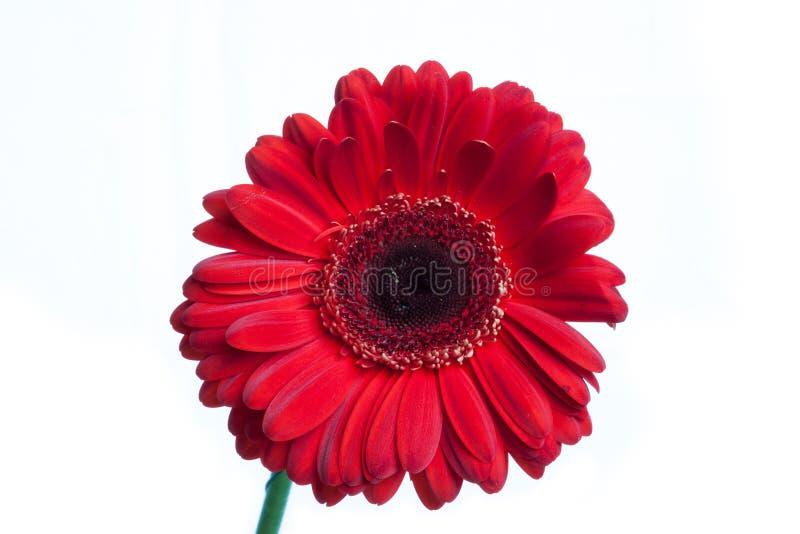 Único gerbera vermelho isolado no branco foto de stock royalty free