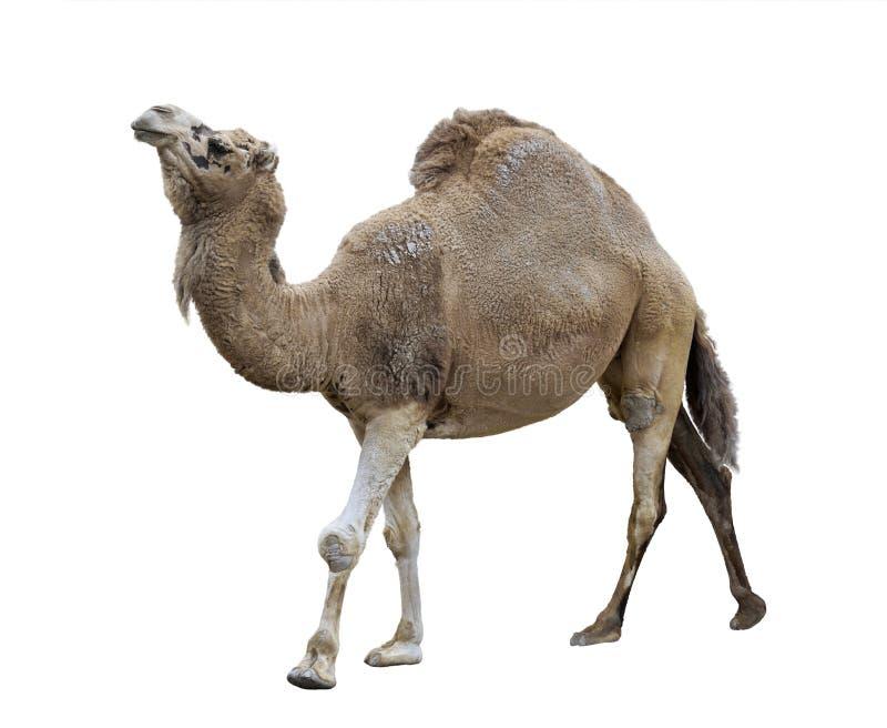 Único-Humped camelo foto de stock