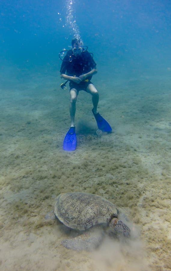 Mergulhador de mergulhador que olha uma tartaruga de mar verde comer a grama do mar imagens de stock