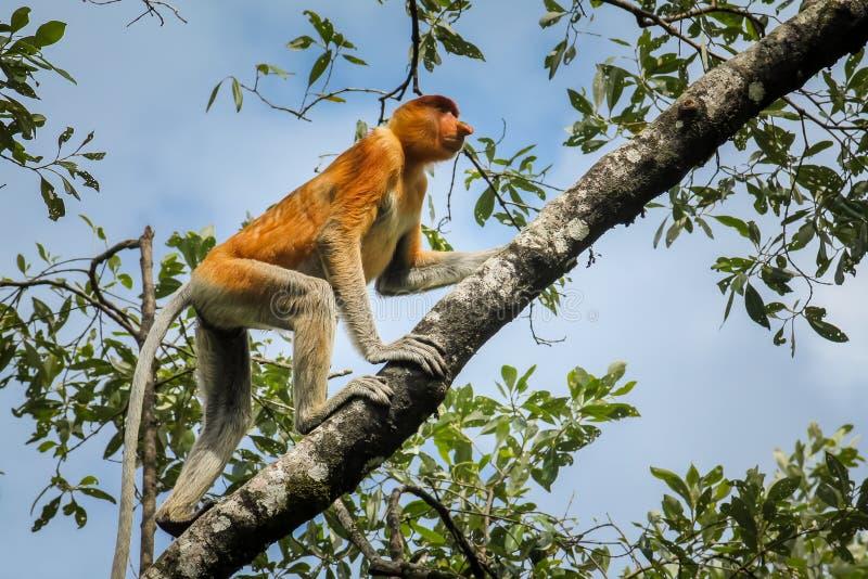 Único o macaco de probóscide raro e bonito com ele é nariz longo original no parque nacional de Bako, Bornéu escalando acima da imagens de stock