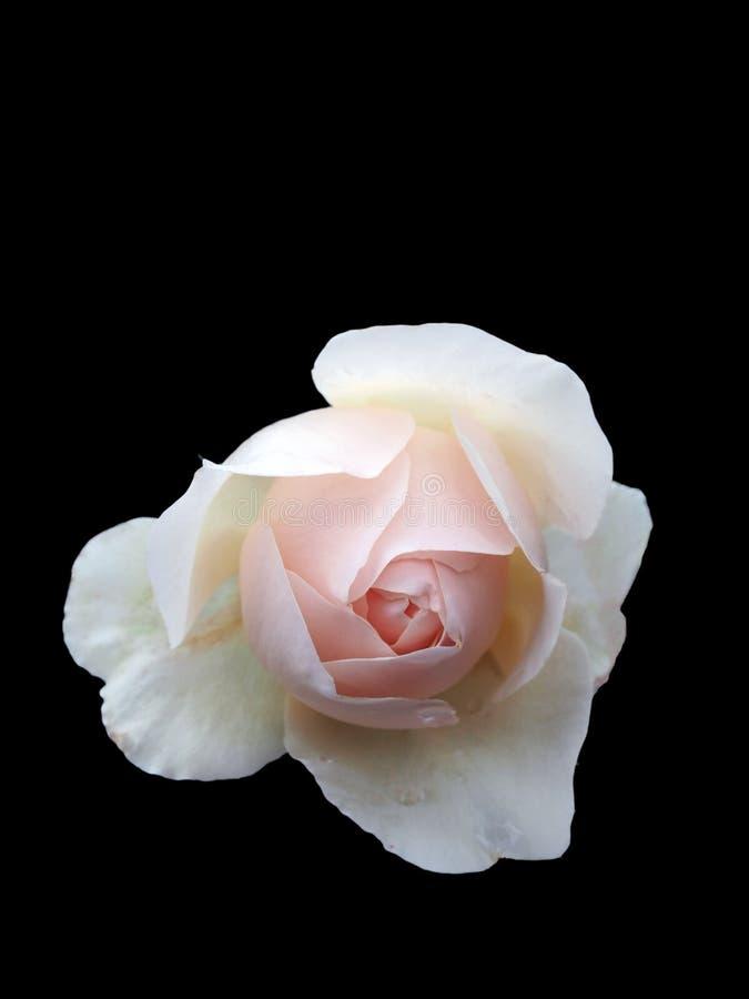 Único pálido - rosa do rosa isolada no fundo preto foto de stock royalty free