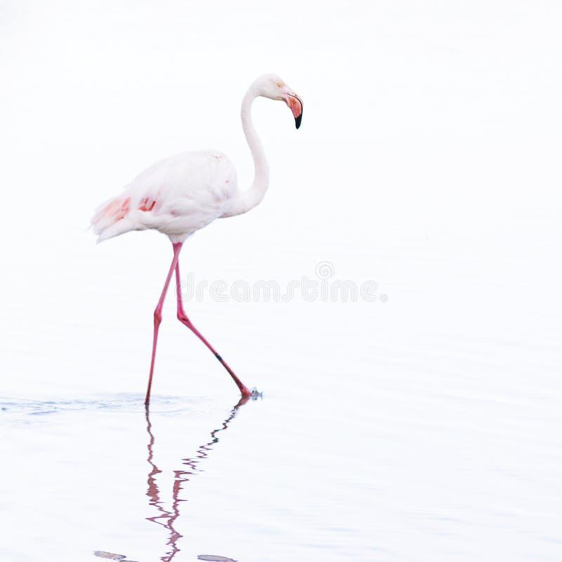 Único pássaro equipado com pernas longo branco bonito do flamingo que vadeia através da água que procura o alimento, a chave alta fotos de stock