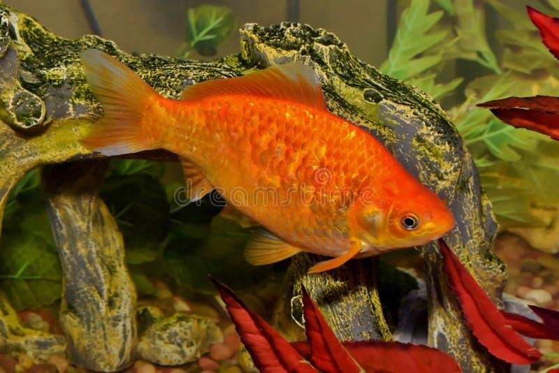Único peixe dourado alaranjado de Koi em um aquário imagens de stock