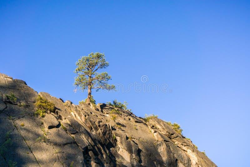 Único pinheiro sobre uma rocha em um fundo do céu azul, parque nacional de Yosemite, Califórnia fotografia de stock royalty free