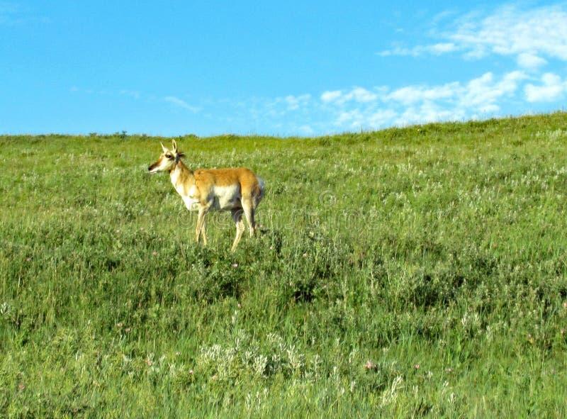 Único pronghorn solitário no montanhês foto de stock