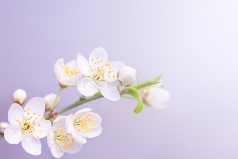 Único ramo de florescência macio fotografia de stock royalty free