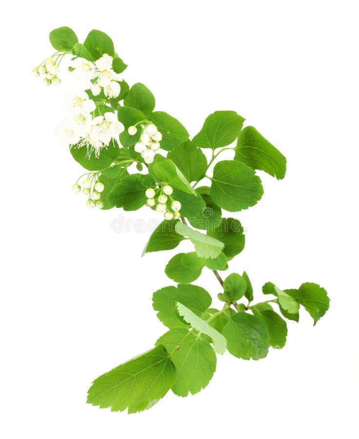 Download Ramo Verde Novo Com Folha E Flores Foto de Stock - Imagem de conceitos, único: 29837046