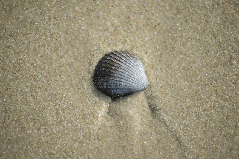 Único shell do mar na praia fotos de stock