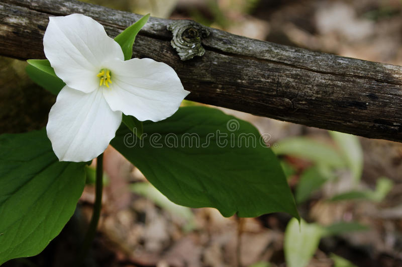 Único Trillium branco foto de stock royalty free