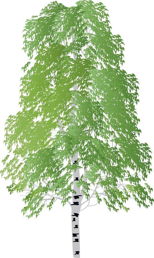 Único vidoeiro verde isolado no branco ilustração do vetor