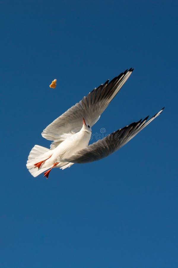 Único voo da gaivota no azul um céu fotos de stock royalty free