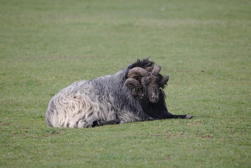 Únicos carneiros de Heidschnucke que encontram-se no campo imagem de stock royalty free