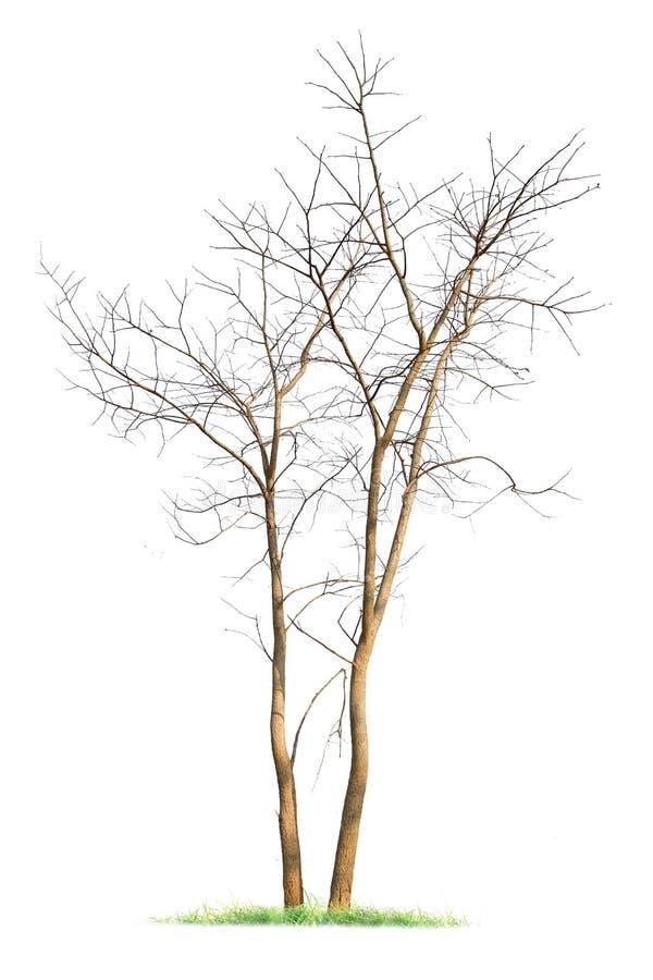 Únicos mortos grandes e inoperantes idosos da árvore isolados no fundo branco foto de stock