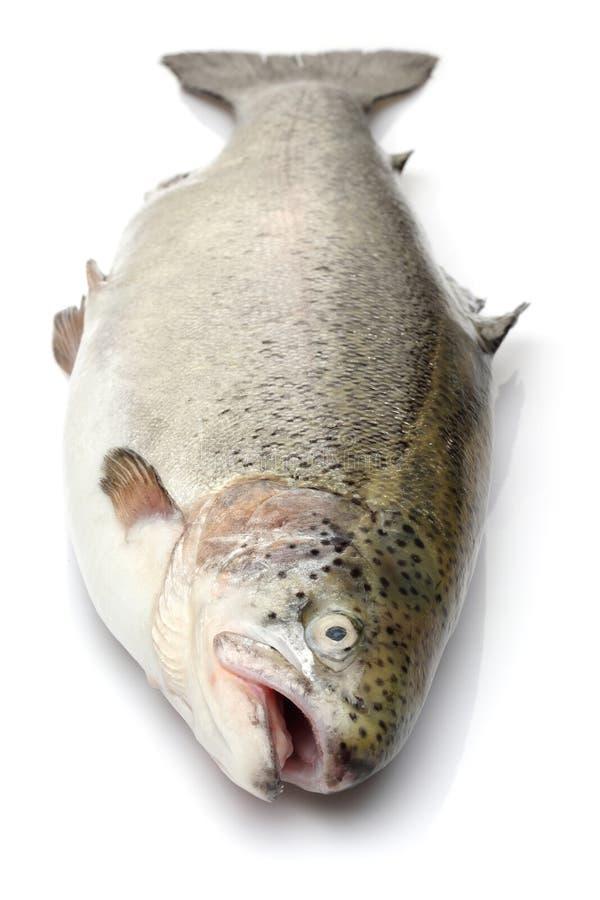 Únicos peixes dos salmões no fundo branco fotografia de stock