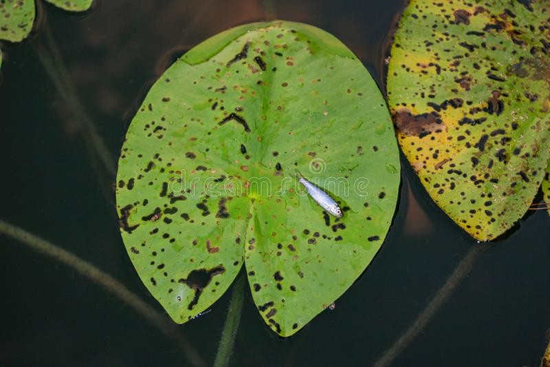 Únicos peixes minúsculos lilly na folha na água fotografia de stock
