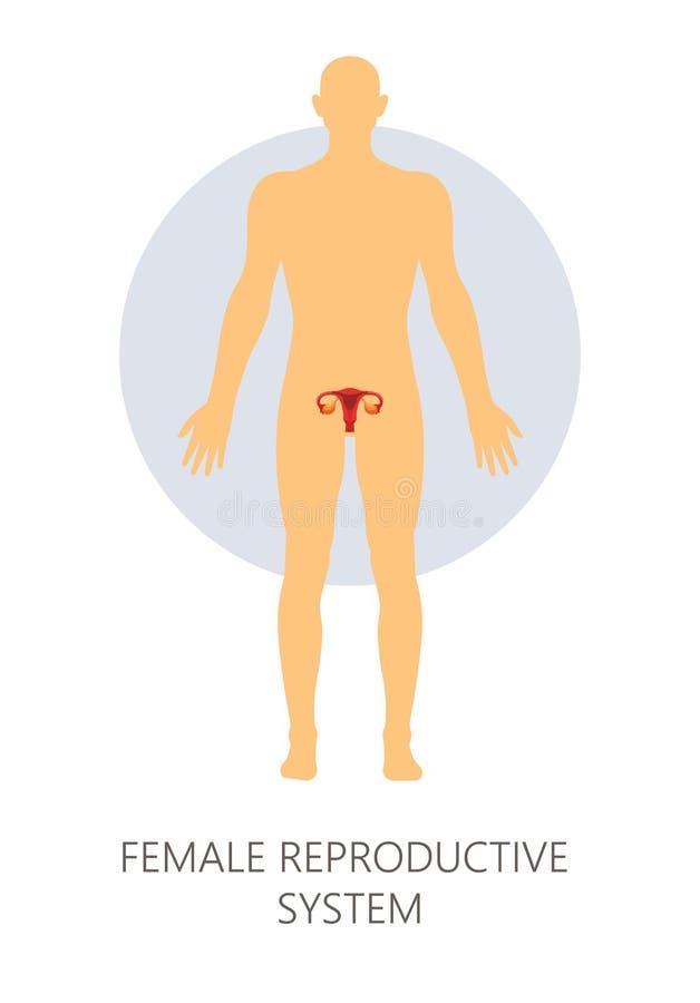 Útero humano isolado fêmea da anatomia do sistema reprodutivo ilustração stock
