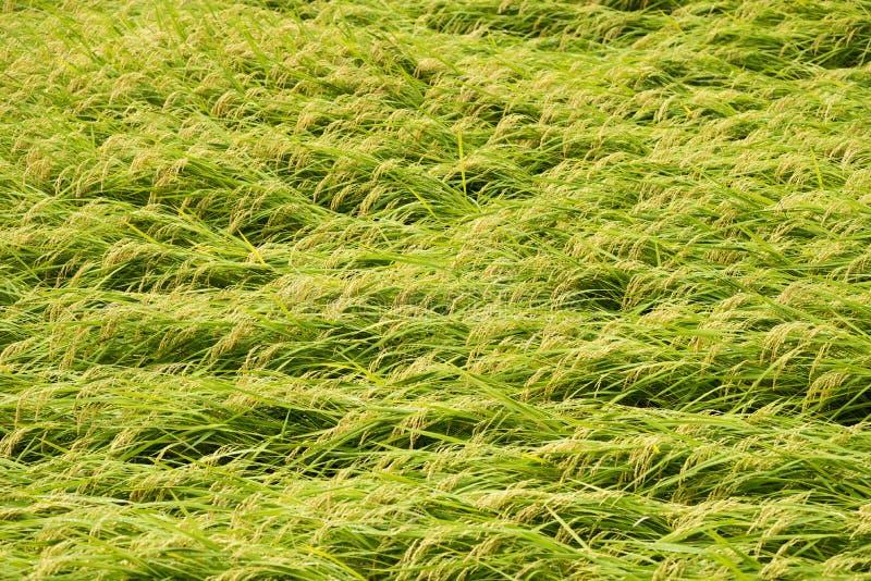 Über gewachsen mit Reisfeld stockbilder
