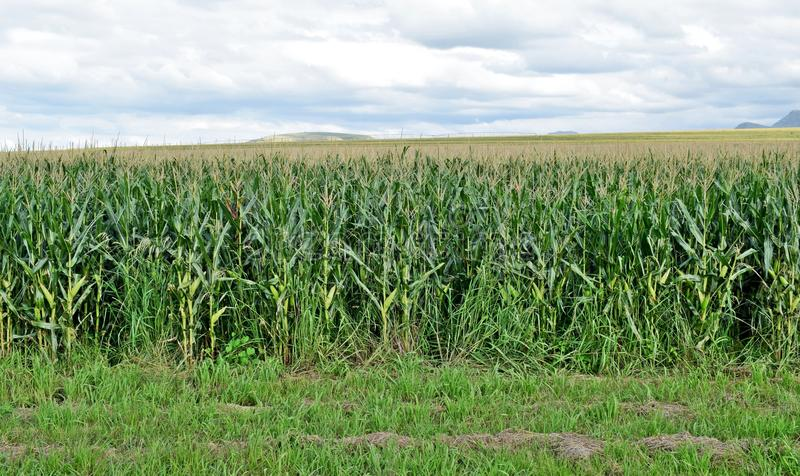 Über Maisfeldern lizenzfreies stockfoto